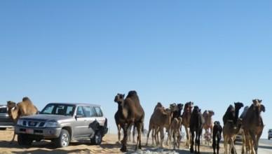 Лучший друг человека — это верблюд!