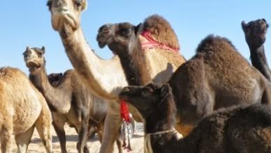 Al Dafra Festival — Фестиваль Верблюдов в Аль Гарбия