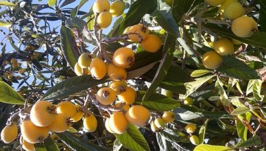 Сезонные фрукты – мушмула.